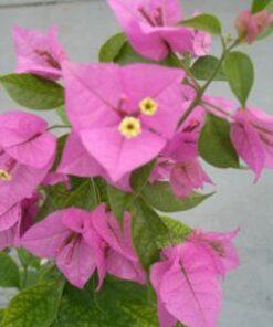 Sanderiana Bougainvillea Flowers