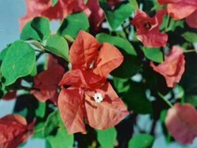 Sundown-Orange Bougainvillea Flowers