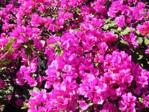 Temple-Fire Bougainvillea Flowers