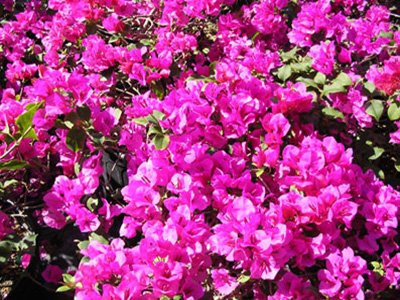 Temple-Fire Bougainvillea Flowers