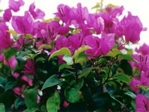 Texas-King Bougainvillea Flowers