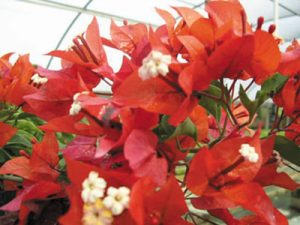 Tomato-Red Bougainvillea Flowers