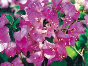 Twilight-Delight Bougainvillea Flowers