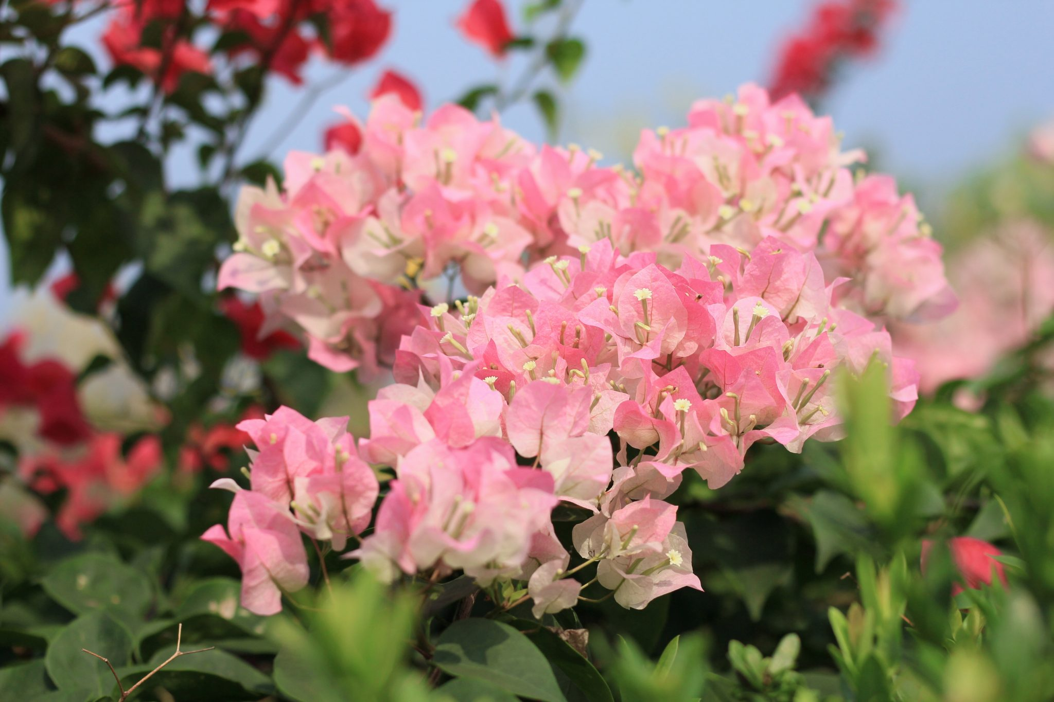 How to Prune A Bougainvillea